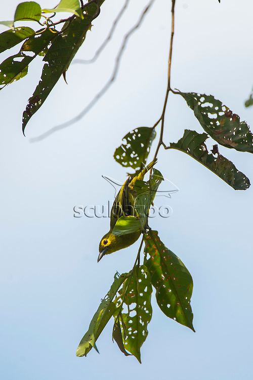 A Green Iora, Aegithina viridissima, in the forest canopy of Danum Valley, Sabah, Borneo, East Malaysia.