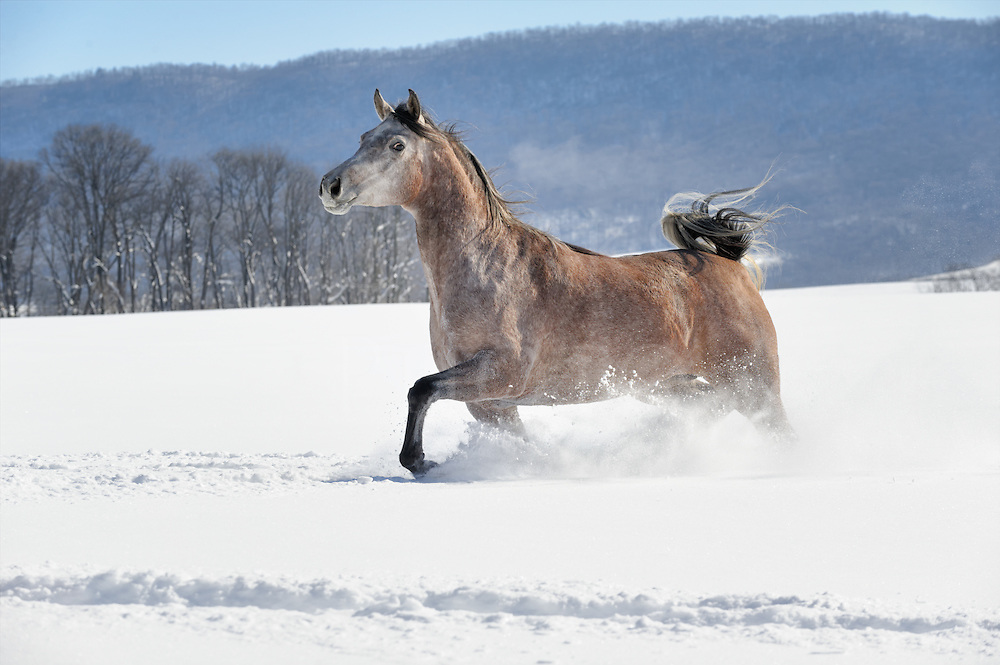 Horse running in powder snow and full sunlight, a beautiful roan Arabian mare against mountain background, Pennsylvania, PA, USA.