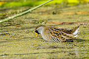 sora rail feeding