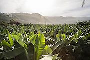 A plantations of bananas en El Rincon, near Puerto de la Cruz.