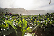 A plantations of bananas en El Rincon, near Puerto de la Cruz.
