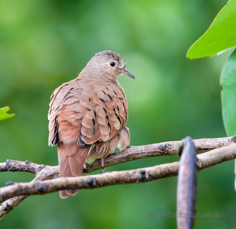 Ruddy Ground Dove, Panama, by Owen Deutsch