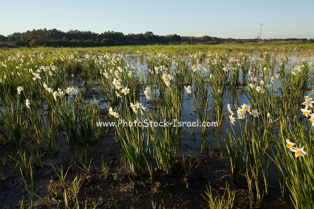 Narcissus tazetta (Paperwhite, Bunch-flowered Narcissus, Chinese Sacred Lily, Joss flower) in a swamp, israel