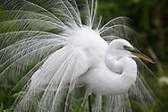 Great Egret - Ardea alba - breeding adult displaying