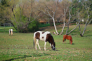 Three Grazing Horses In The Morning On A Quiet Midwestern Farm, Southwestern Ohio, USA