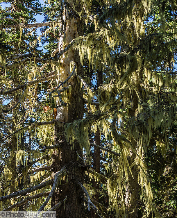 Yellow lichen drapes trees in Garibaldi Provincial Park, in the Coast Range, British Columbia, Canada. Garibaldi Park is east of the Sea to Sky Highway (Route 99) between Squamish and Whistler.