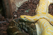 Close-up of an albino Indian python (Python molurus) at Haus Des Meeres, the Aquarium and terrarium building, Esterhazy Park, Mariahilf, Vienna, Austria