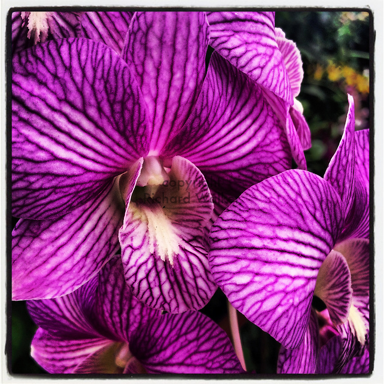 2012 September 26 - Purple orchid flowers in Hawaii, USA. Taken with Apple iPhone using Instagram App. By Richard Walker