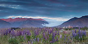 Alpenglow on the mountain range, two minutes after sunset.  A mountain wave of clouds descends behind a field of lupins near Lake Tekapo, New Zealand.