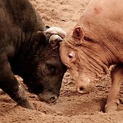 Bull Meets Bull: South Korean Bullfighting