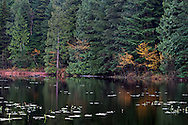 Fall foliage (mostly Vine Maples - Acer circinatum) and lily pads on Mill Pond in Mission, British Columbia, Canada.