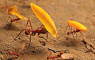 Leaf-cutter Ants (Atta sp.) carrying petals of garlic tree flowers. Corcovado National Park, Osa, Costa Rica. <br /> <br /> For pricing click on ADD TO CART (above). We accept payments via PayPal.