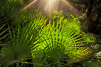 Warm sunbeams bathe the forest understory palmettos in Belize