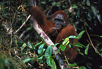 Past-his-prime male Bornean orangutan named Jari Manis rests while holding a tree limb.