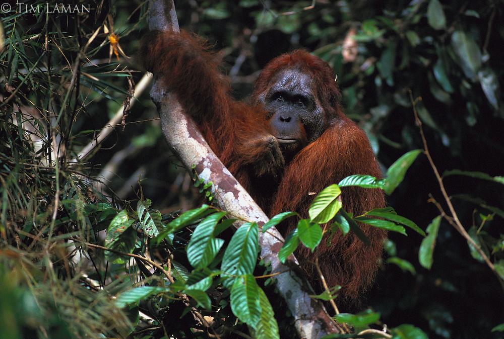Past-his-prime male Bornean orangutan named Jari Manis rests while holding a tree limb.