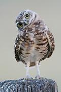 Burrowing Owl (Athene cunicularia), Montana