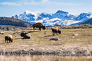Bison lounging around the pond in the Lamar Valley of Yellowstone National Park.  Sugarloaf Mountain is the peak beyond
