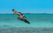 Brown pelicans track down baitfish on the Belize coastline.