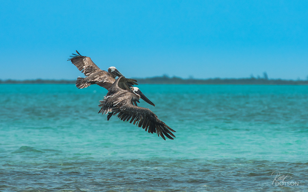 Brown pelicans track down baitfish on the Belize coastline.