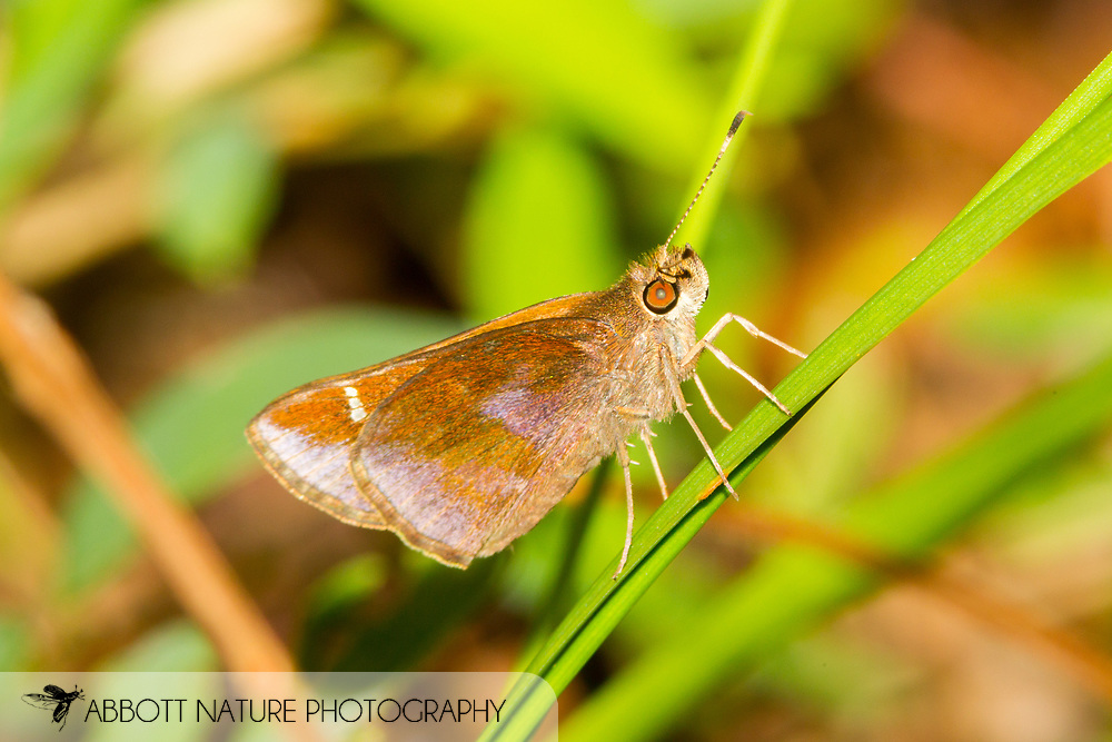 Clouded Skipper - Hodges#3998 (Lerema accius)<br /> United States: North Carolina: Johnston Co.<br /> Central Crops Research Station off Bus. 70<br /> North Carolina State University; Clayton<br /> 15-Sep-2017<br /> J.C. Abbott #2988