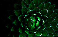 A beautiful Agave victoriae reginae light painted with a green light from a cell phone.