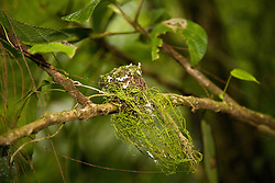 La Fortuna, Alajuela: A hummingbird's nest, smaller than a Mexican centavo,  perches in disguise in the rainforest at the Arenal Hanging Bridges.