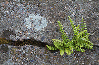 Maidenhair Spleenwort (Asplenium trichomanes) and lichen growing on the city walls of Pont-du-Chateau, Auvergne, France.