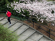 A jogger and cherry blossoms near the Reservoir in Central Park, New York City