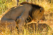 Lions mating, profile view, tight shot of almost full bodies. Male grimacing.