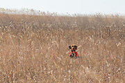 Hunting pheasants with a Vizsla in southrn Minnesota.