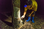 "02 SEPTEMBER 2014 - CHUM SAENG, RAYONG, THAILAND: LEK, a laborer on a rubber plantation in Rayong province of Thailand, ""taps"" a rubber tree to collect rubber. Trees are tapped during the night. Lek and his wife used to work together on the farm but she was laid off when prices plunged and now works in a food stall in town. Thailand is the leading rubber exporter in the world. In the last two years, the price paid to rubber farmers has plunged from approximately 190 Baht per kilo (about $6.10 US) to 52 Baht per kilo (about $1.60 US). It costs about 65 Baht per kilo to produce rubber ($2.05 US). A rubber farmer in southern Thailand committed suicide over the weekend, allegedly because the low prices meant he couldn't provide for his family. Other rubber farmers have taken jobs in the construction trade or in Bangkok to provide for their families during the slump.    PHOTO BY JACK KURTZ"