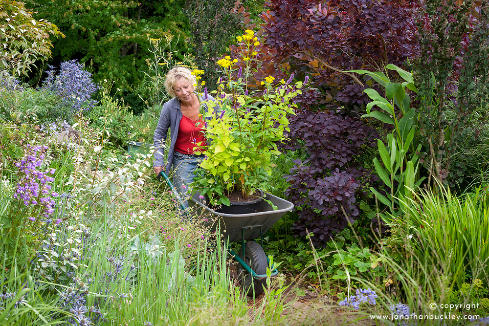 Carol Klein pushing wheelbarrow containing pot of Patrinia scabiosifolia and Agastache foeniculum 'Golden Jubilee'