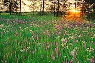 Prairie flowers at sunset, Prairie Blazing Star and Rattlesnake Master, Iroquois Conservation Area, Illinois.  Liatris pycnostachya, Eryngium yuccifolium