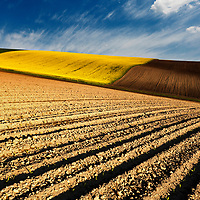 Fields of rapeseed and wheat in springtime