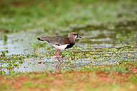Southern Lapwing (Vanellus chilensis), Araras Ecolodge,  Mato Grosso, Brazil (Photo: Peter Llewellyn)