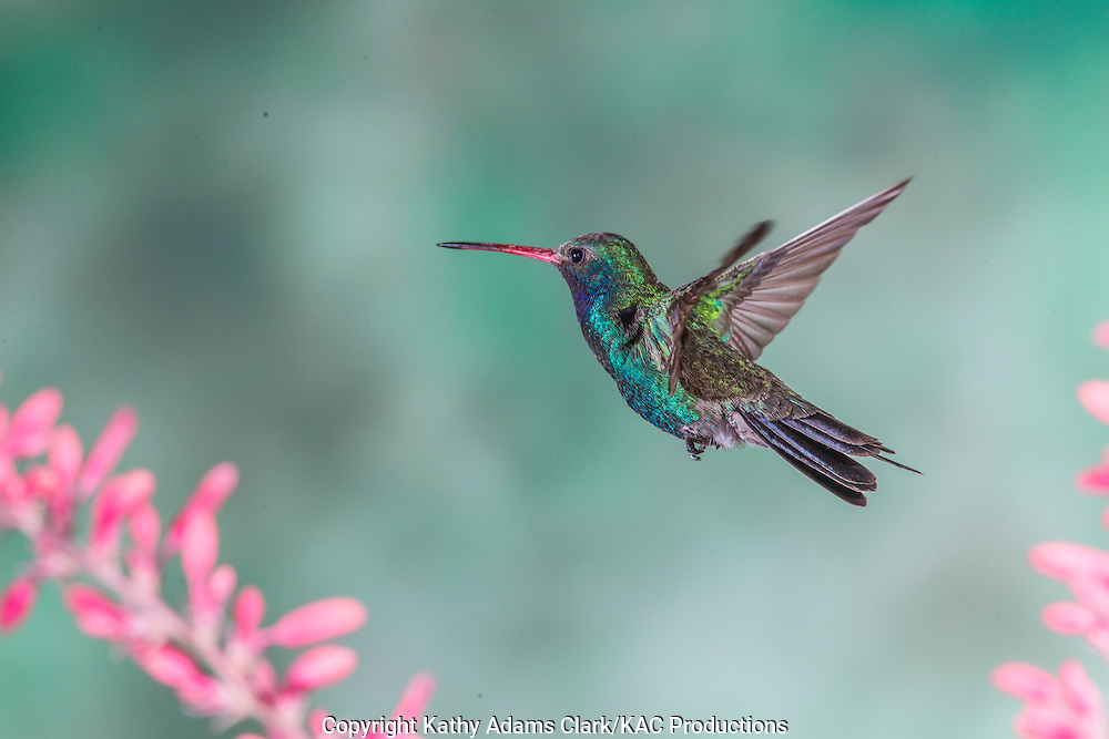Broad-billed Hummingbird; Cynanthus latirostris;  feeding on red yucca, Sonoran Desert; Southern; Summer; Arizona;