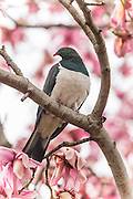 New Zealand Wood Pigeon in a magnolia tree, Southland.