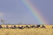 Wildebeest<br /> Connochaetes taurinus<br /> Maasai Mara Reserve, Kenya<br /> Grazing with rainbow in background