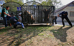 ROMANIA ONESTI 26OCT12 - Two Eurasian  brown bears are transferred to a transport cage  at the Onesti zoo...The bear was rescued from the decrepit Onesti Zoo where it lived for 8 years in degrading conditions and will be transported to the Zarnesti bear sanctuary...jre/Photo by Jiri Rezac / WSPA