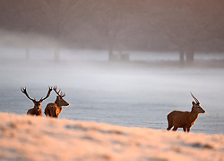 © Licensed to London News Pictures. 02/12/2012. Richmond, UK Deer stand on hard frosty ground in the early morning mist and sunshine. . Deer, joggers and dog walkers wake up to a golden frosty morning in Richmond Park, Surrey, today 2nd December 2012. Photo credit : Stephen Simpson/LNP