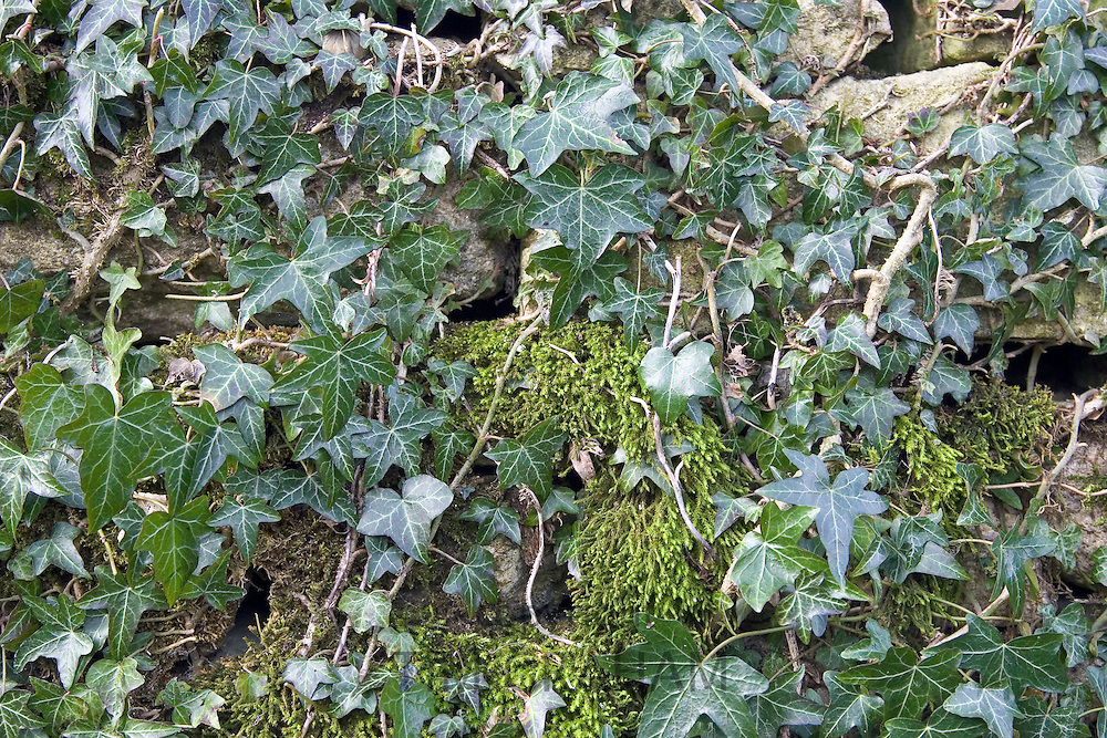 Moss and ivy covered dry stone wall, Gloucestershire, United Kingdom.