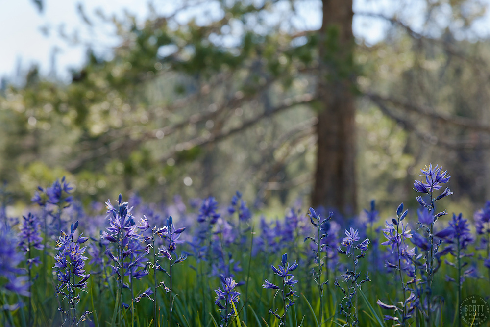 """Camas Lilies at Sagehen Meadows 2"" - These camas lily flowers were photographed at Sagehen Meadows, near Stampede Reservoir, Truckee."