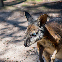 A wallaby belongs to the same family as kangaroos.  They are smaller than kangaroos.  Wallabies are native to Australia and New Guinea.