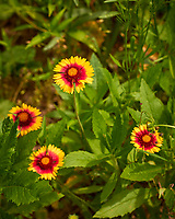 Blanket Flower. Image taken with a Leica CL camera and 60 mm f/2.8 lens