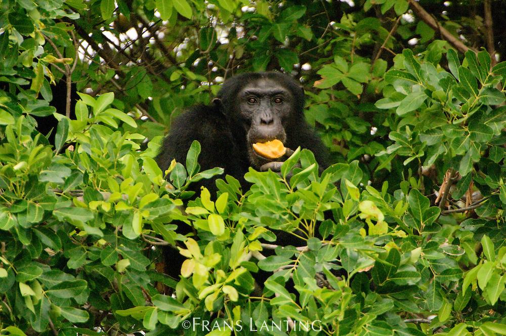 Chimpanzee eating Saba fruit, Pan troglodytes verus, Fongoli, Senegal