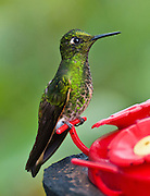 Tom Dempsey photographed this Buff-tailed Coronet (Boissonneaua flavescens) hummingbird in Bellavista Cloud Forest Reserve, near Quito, Ecuador, South America. This species is found in Colombia, Ecuador, and Venezuela.