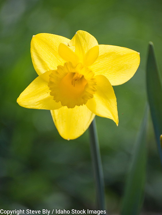 Flowers, Close-up of single yellow Daffodils. USA