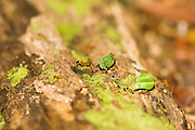 Leaf-cutter ants carrying leaves across a log in the forest, Osa Peninsula, southern Costa Rica.