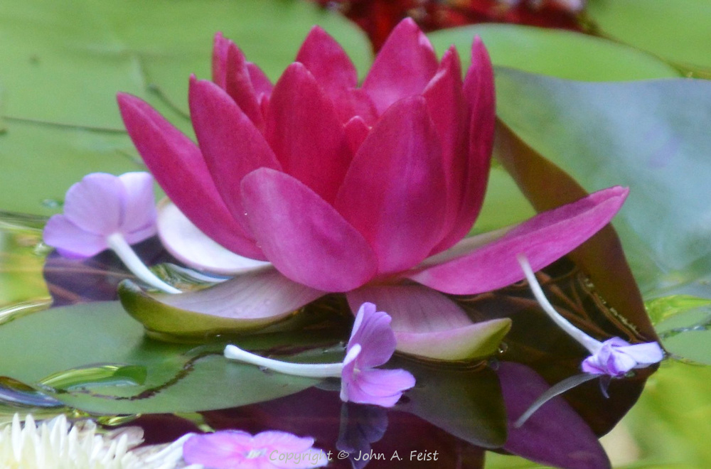 One red lotus with attendant flowers.  Meditation sanctuary, Omega Institute, Rhinebeck, NY