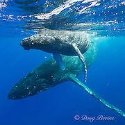 humpback whales, Megaptera novaeangliae,  mother and calf, Kohala, Kona, Hawaii, USA ( Central Pacific Ocean )